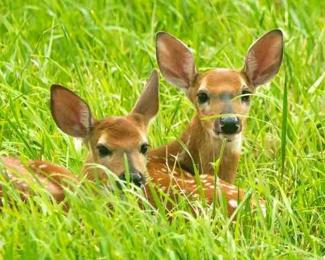 What is a Baby Deer Called